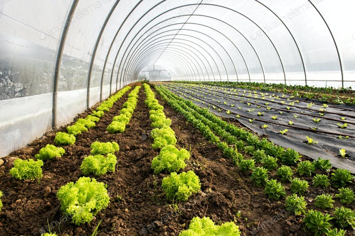 Interior of an agricultural greenhouse or tunnel