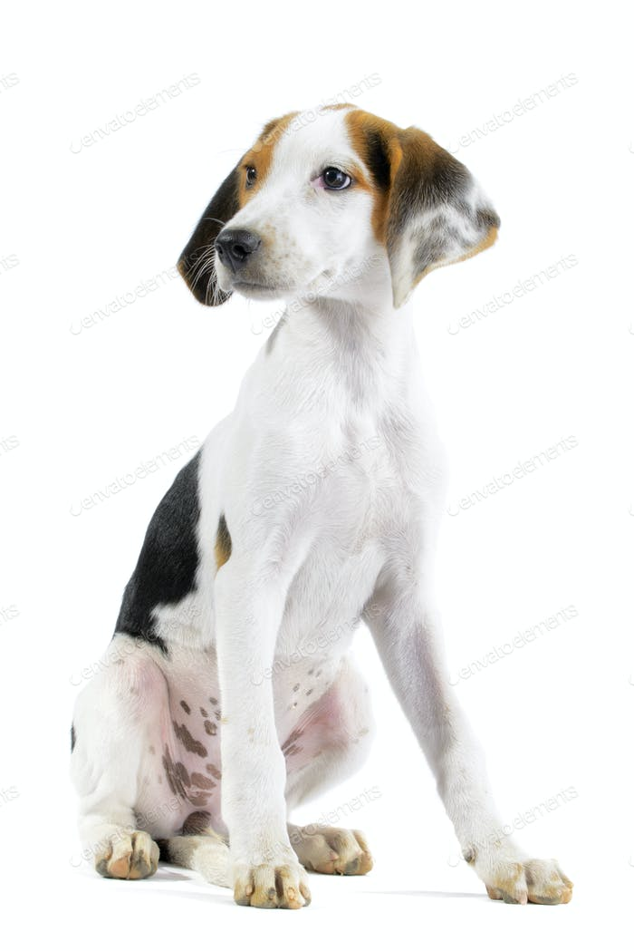 Hound mix isolated on white background