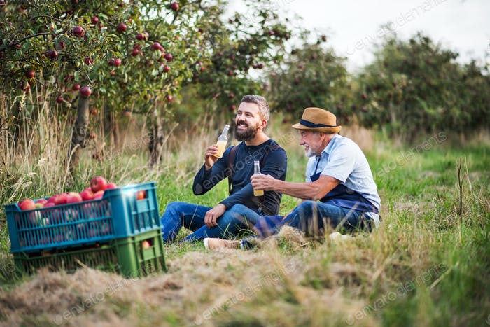 A senior man with adult son drinking cider in apple orchard in autumn.