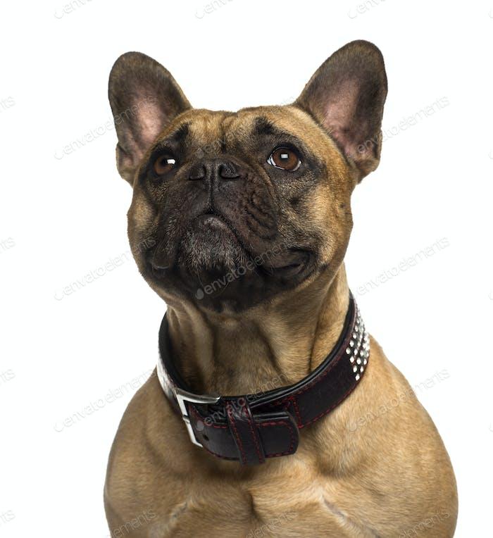 Nahaufnahme einer Französisch Bulldogge nachschlagen