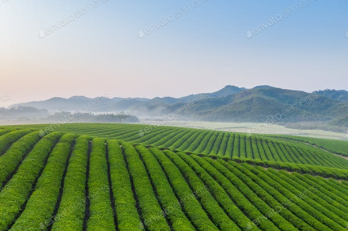 tea plantation in early morning
