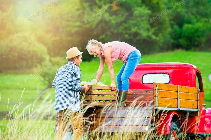 Senior couple harvesting apples, loading them into vintage car