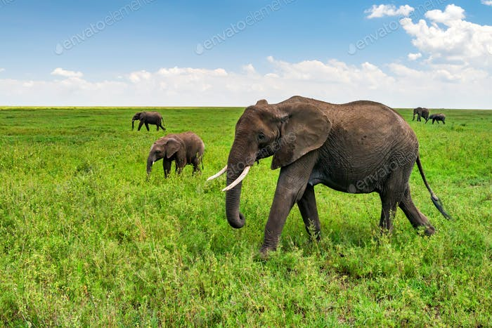 African elephants or Loxodonta cyclotis in nature