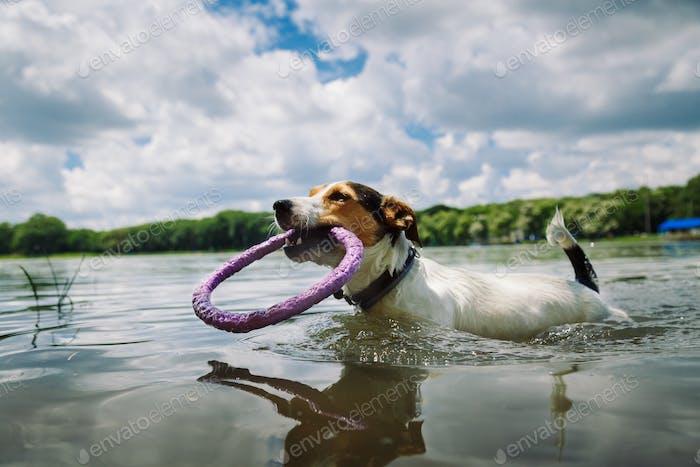 Hund schwimmt im See mit dem Ring
