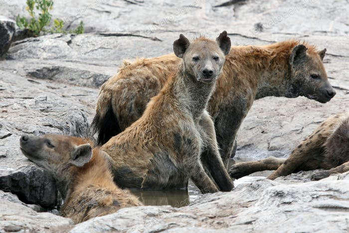 Hyena - Serengeti, Africa