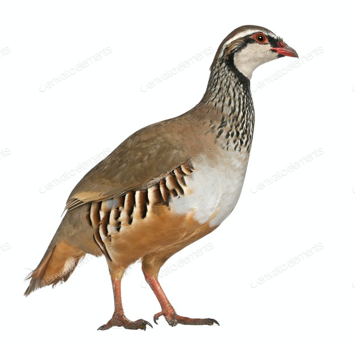 Red-legged Partridge or French Partridge, Alectoris rufa, a game bird in the pheasant family