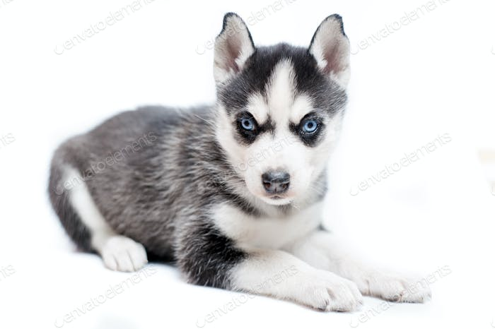 sleepy siberian husky puppy isolated on white