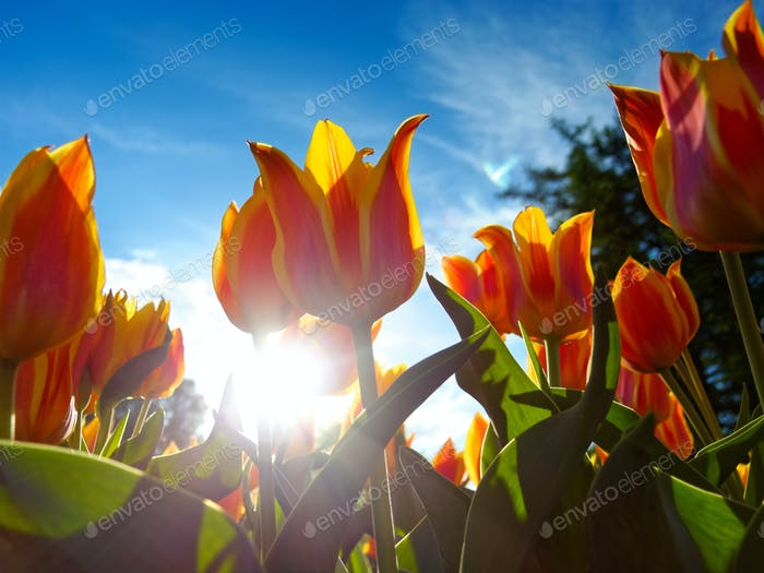Orange tulips on flowerbed