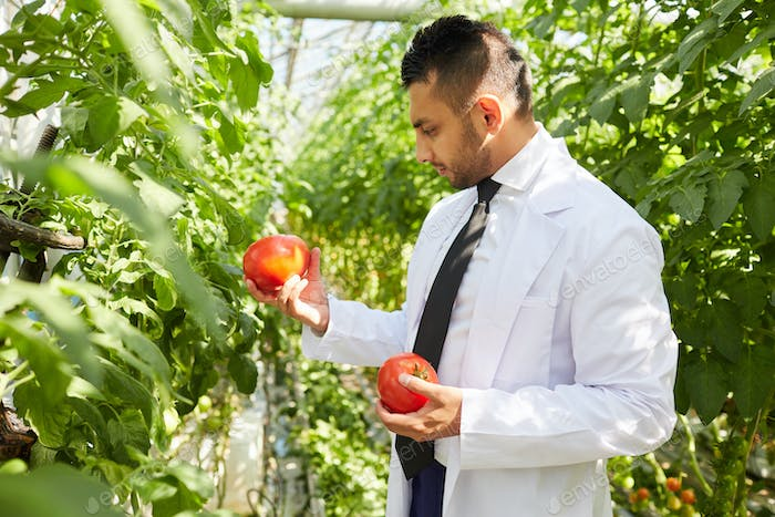 Arabian scientist examining tomatoes