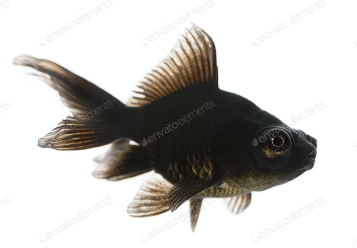 Black moor, Carassius auratus, in front of white background