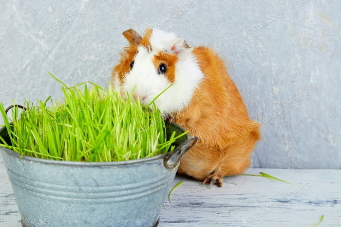 Redhead  guinea pig near vase with fresh grass.