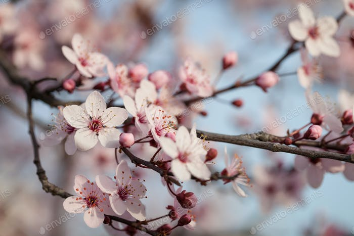 Branches of flowering plum