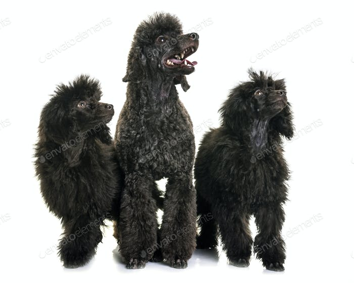 puppy and adult brown poodle