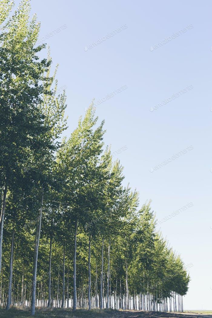 A plantation of poplar trees, commercial tree farm.