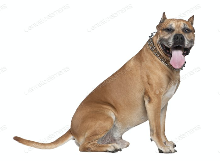 American Staffordshire terrier, 5 years old, looking at camera sitting in front of white background