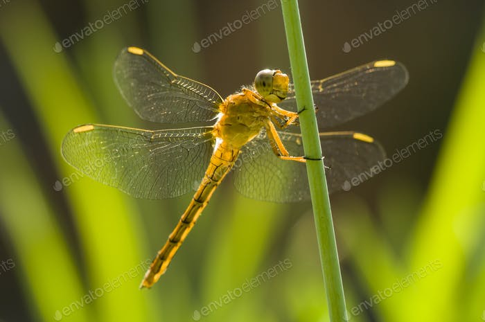 Yellow Dragonfly perched on a stick