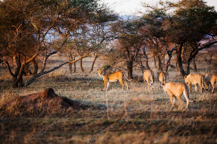 Lioness and her pride in Serengeti