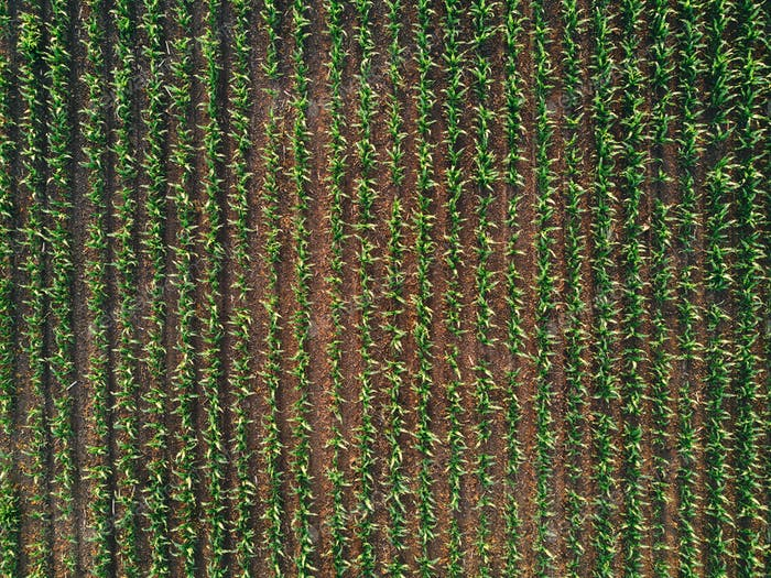 Drone pov of corn maize field