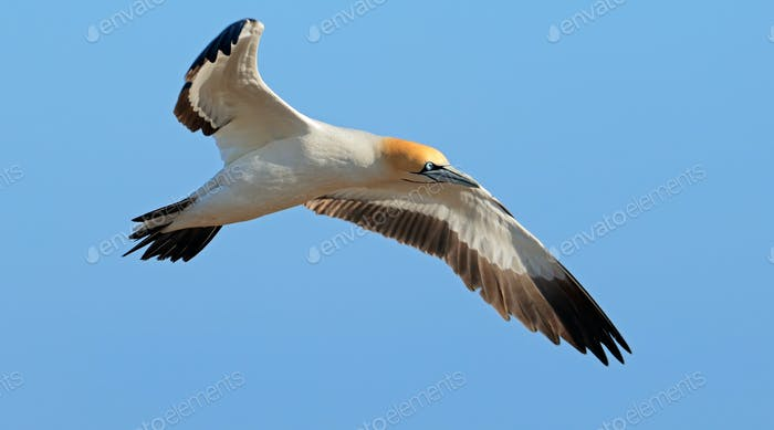 Cape gannet in flight