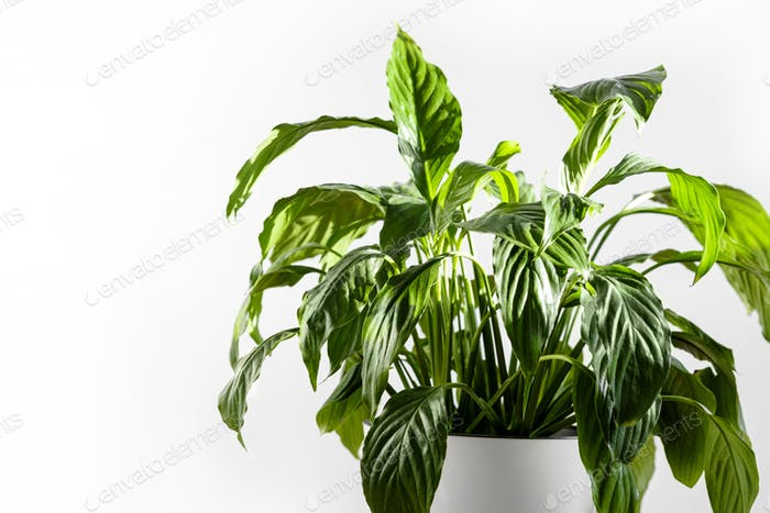 Spathiphyllum plant in a white pot on a white background. Home plants care concept.