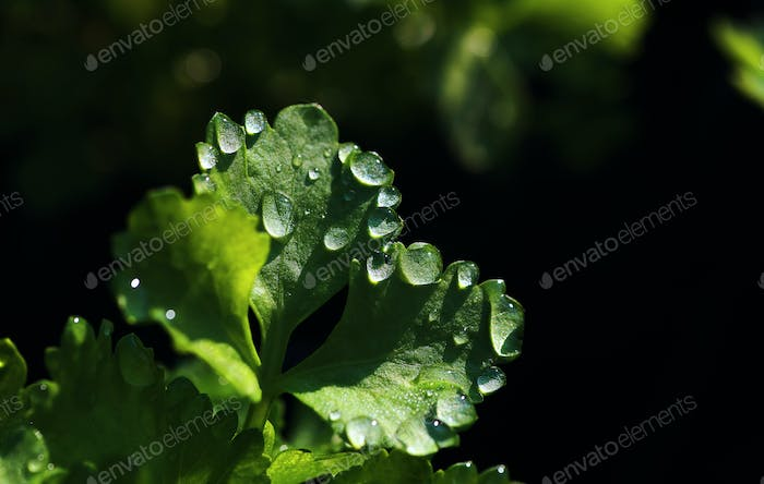 Water drops on the coriander leaves