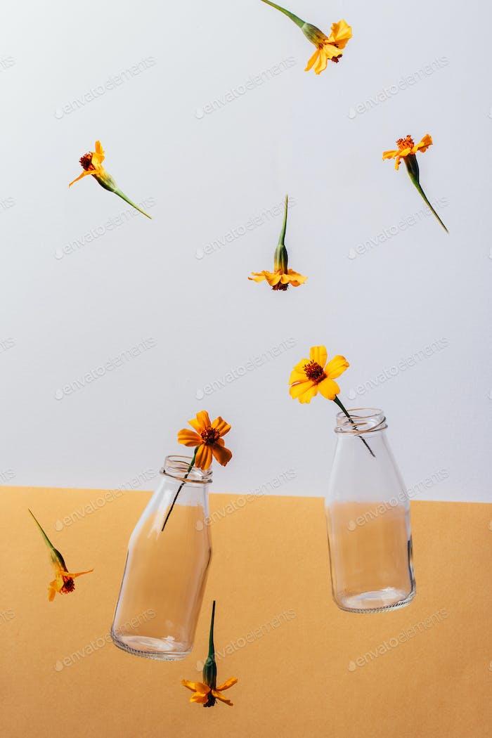 Glass bottles milk packaging and Chernobrivtsi flowers falling down on white and orange background.
