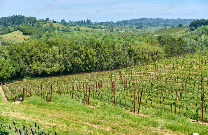 Vineyards in California, USA