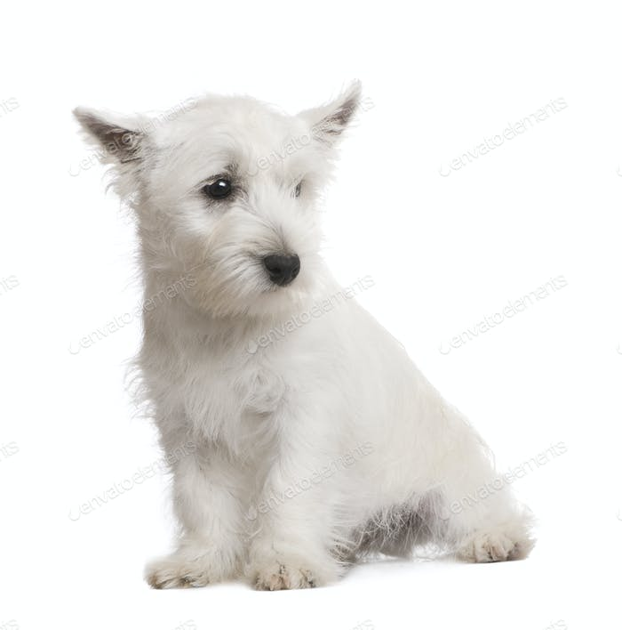 West Highland White Terrier (3 months)