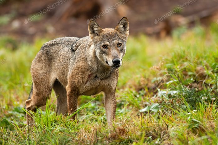 Solitary grey wolf wandering the mountains in summer and looking to camera