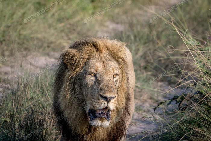 Big male Lion walking towards the camera.