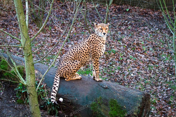 North African Cheetah Sitting on a Log