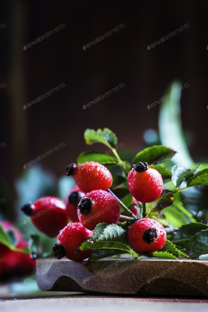 Branches rosehip with berries