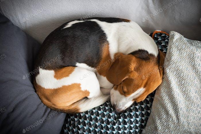 Schlafen Beagle auf dem Sofa im Wohnzimmer