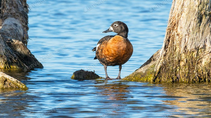 A Female Australian Shelduck