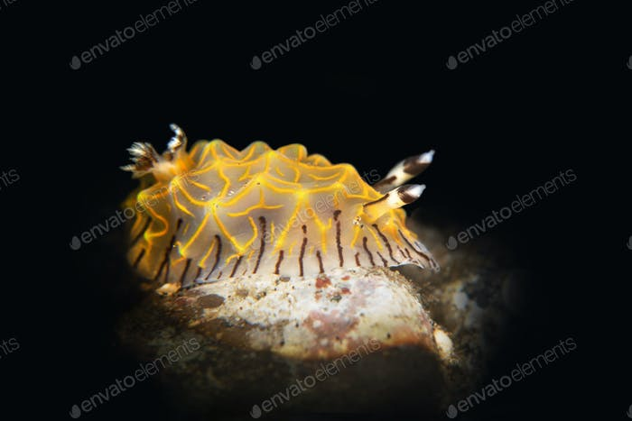 Gold Laced Nudibranch