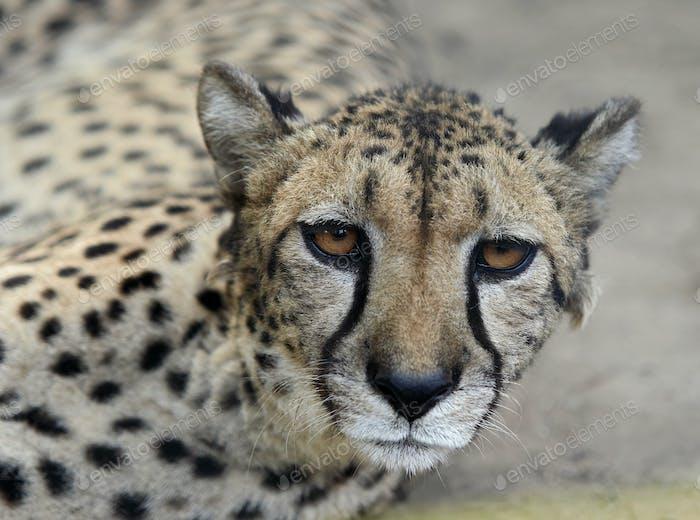 Lying Leopard - detail head