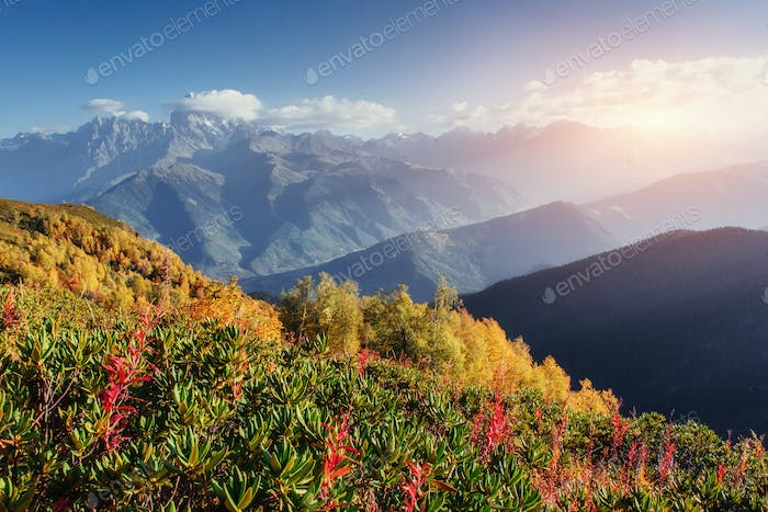 Blooming rhododendron flowers in Caucasus mountains. Upper Svane