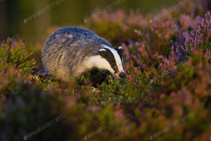 Curious european badger approaching from front view on moorland