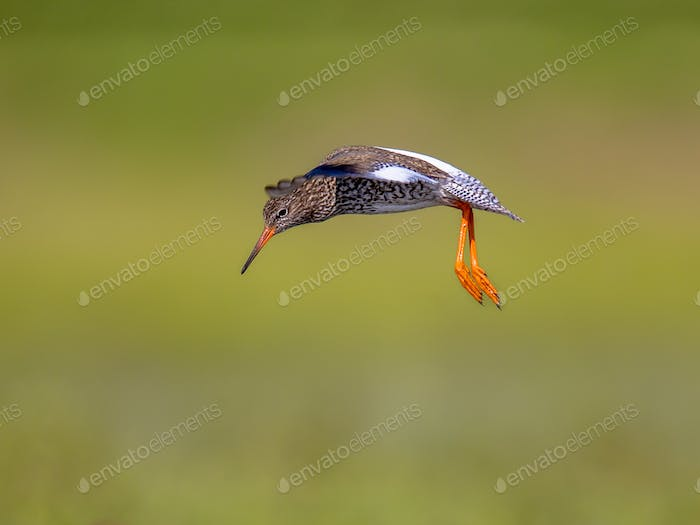 Flying Common redshank Eurasian wader preparing to land