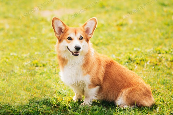 Pembroke Welsh Corgi Dog Puppy Sitting In Green Summer Grass. The Welsh Corgi Is A Small Type Of