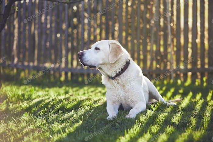 Hund auf dem Garten bei Sonnenuntergang