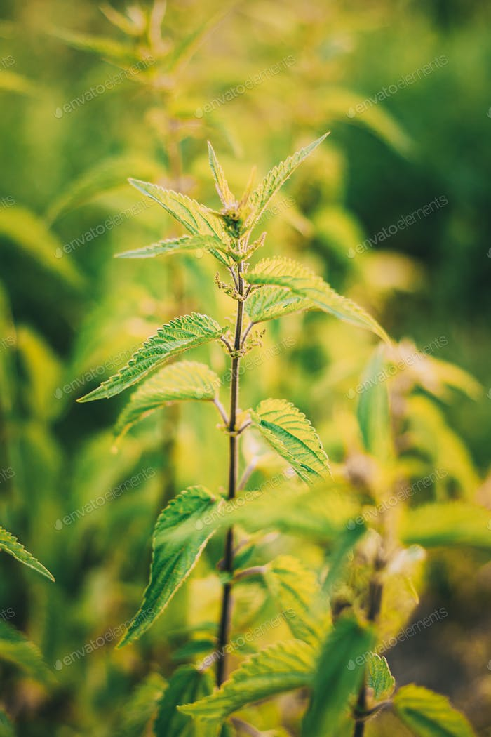 The Twigs Of Wild Nettle, Stinging Nettle Or Urtica Dioica In Su