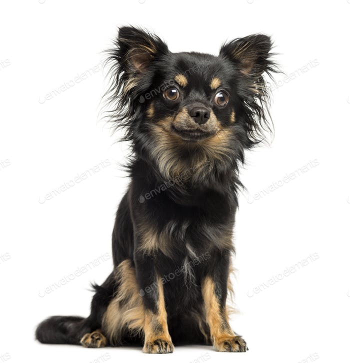 Thumbnail for Sitting Chihuahua, 2 years old, isolated on white