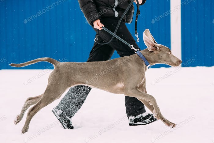 Weimaraner Dog Running Near Man In Snow At Winter Day. Large Dog