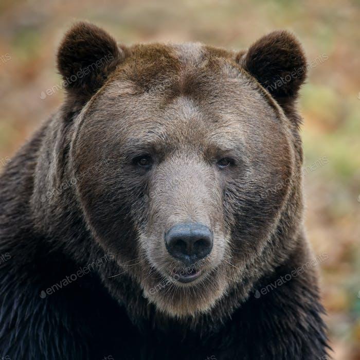 Close-up brown bear portrait. Danger animal in nature habitat. Big mammal