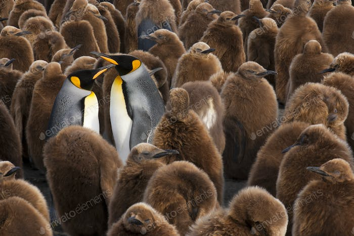 A colony of King Penguins, Aptenodytes patagonicus. Fledgling chicks with brown fluffy coats,