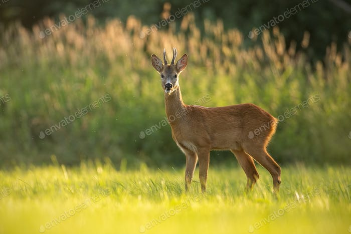 Roe deer buck in natural peaceful environment lit by evening light