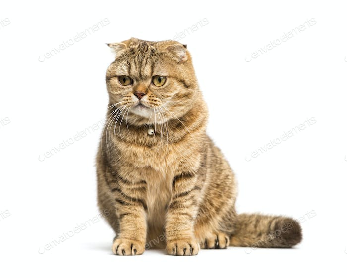 sitting Scottish Fold cat, isolated