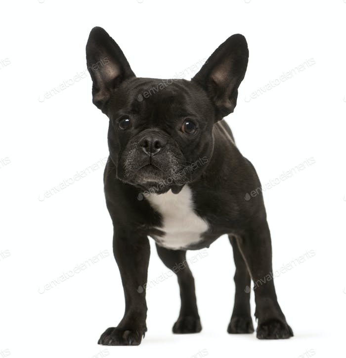 Standing French bulldog dog, cut out