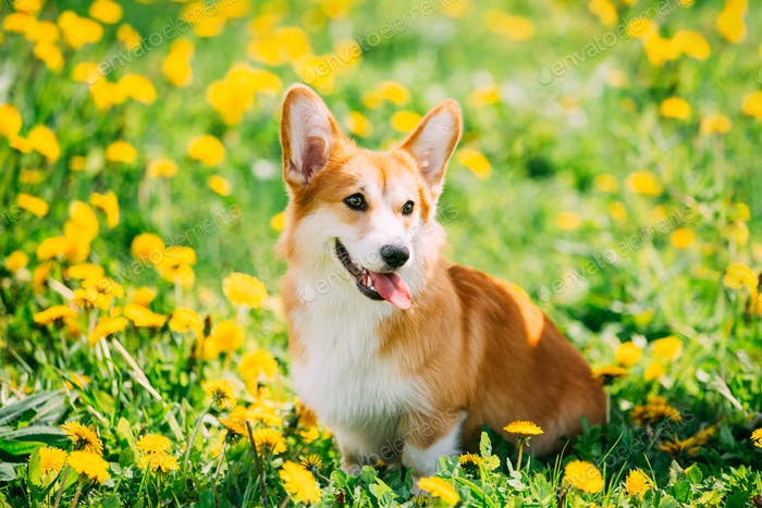 Funny Pembroke Welsh Corgi Dog Puppy Playing In Green Summer Mea